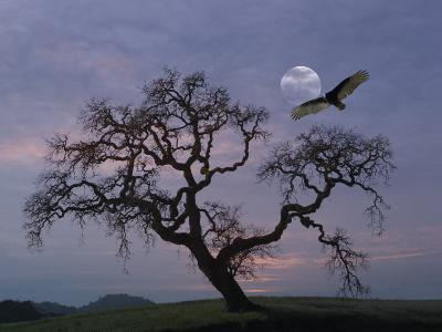 Oak Tree Silhouetted Against Cloudy Sunrise with Partially Obscured Moon and Flying Vulture-Diane Miller-Photographic Print