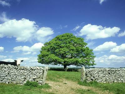 Oak Tree, with Cow & Dry Stone Wall Near Litton, Peak District National Park, UK-Mark Hamblin-Photographic Print