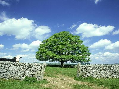 https://imgc.artprintimages.com/img/print/oak-tree-with-cow-dry-stone-wall-near-litton-peak-district-national-park-uk_u-l-q10r7100.jpg?p=0