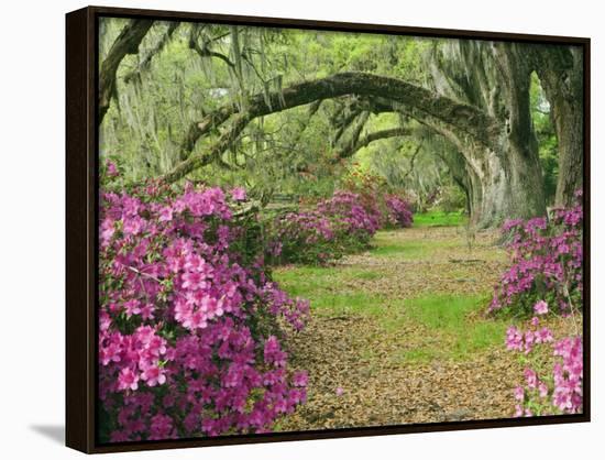 Oak Trees Above Azaleas in Bloom, Magnolia Plantation, Near Charleston, South Carolina, USA-Adam Jones-Framed Canvas Print
