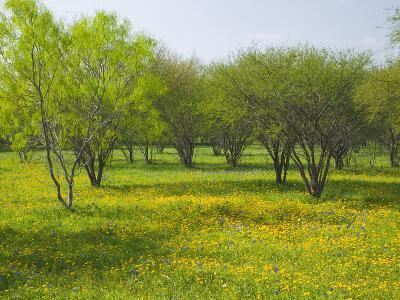 Oak Trees and Wildflowers Bloom Near Cuero, Texas, USA-Darrell Gulin-Photographic Print