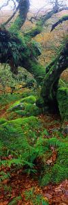 Oak Trees in a Forest, Wistman's Wood, Dartmoor National Park, Devon, England