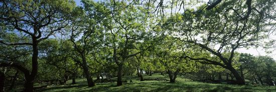 Oak trees (Quercus) in a field--Photographic Print