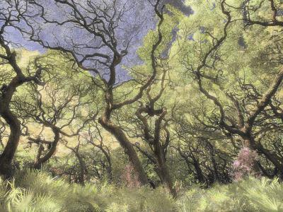 Oak Trees Stretch Gnarled Branches Skyward-Annie Griffiths Belt-Photographic Print