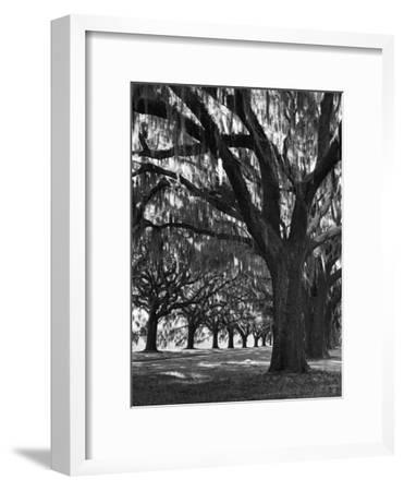 Oak Trees with Spanish Moss Hanging from Their Branches Lining a Southern Dirt Road-Alfred Eisenstaedt-Framed Premium Photographic Print