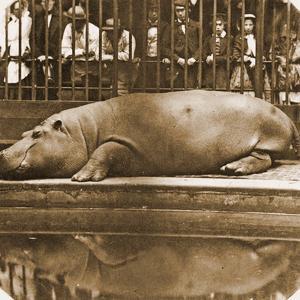 Obaysch the Hippopotamus, London Zoo, 1852, by Don Juan, Comte De Montizón