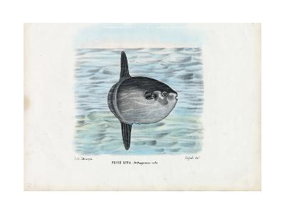 Ocean Sunfish, 1863-79-Raimundo Petraroja-Giclee Print