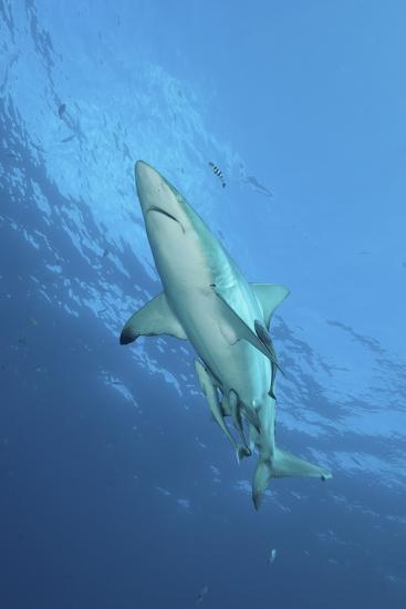 Oceanic Blacktip Shark with Remora and Pilot Fish, Aliwal Shoal, South Africa-Stocktrek Images-Photographic Print