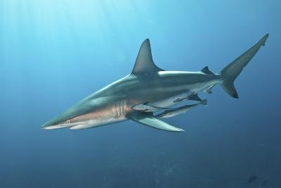 Oceanic Blacktip Shark with Remora in the Waters of Aliwal Shoal, South Africa-Stocktrek Images-Photographic Print