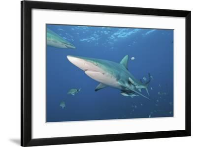 Oceanic Blacktip Shark with Remora in the Waters of Aliwal Shoal, South Africa-Stocktrek Images-Framed Photographic Print