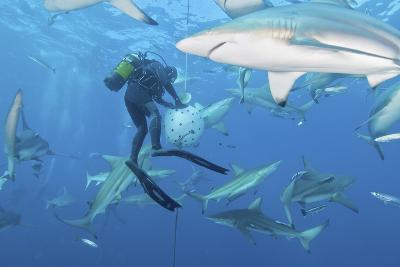 Oceanic Blacktip Sharks Waiting for Food from a Diver Near a Bait Ball-Stocktrek Images-Photographic Print