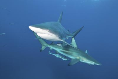 Oceanic Blacktip Sharks with Remora in the Waters of Aliwal Shoal, South Africa-Stocktrek Images-Photographic Print