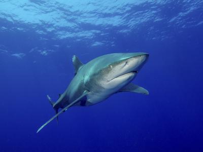 Oceanic Whitetip Shark, Cat Island, Bahamas-Stocktrek Images-Photographic Print