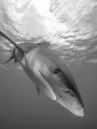 https://imgc.artprintimages.com/img/print/oceanic-whitetip-shark-cat-island-bahamas_u-l-pyansu0.jpg?p=0