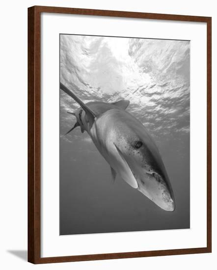 Oceanic Whitetip Shark, Cat Island, Bahamas-Stocktrek Images-Framed Photographic Print