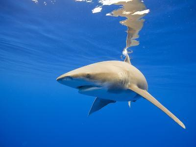 Oceanic Whitetip Shark, Hawaii-Paul Souders-Photographic Print