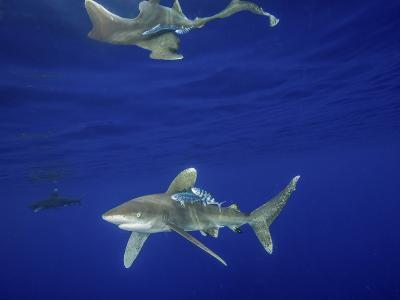 Oceanic Whitetip Shark with Reflection, Cat Island, Bahamas-Stocktrek Images-Photographic Print