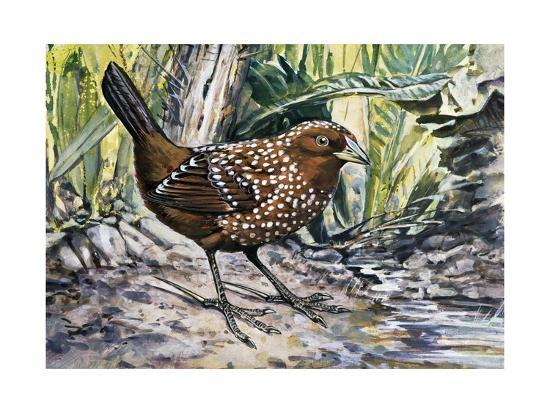 Ocellated Tapaculo (Acropternis Orthonyx), Rhinocryptidae--Giclee Print