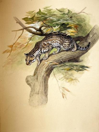 Ocelot, 1851-Joseph Wolf-Giclee Print