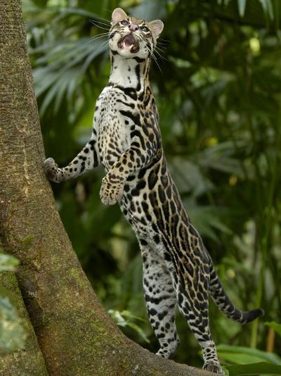 Ocelot (Felis / Leopardus Pardalis) Amazon Rainforest, Ecuador-Pete Oxford-Photographic Print