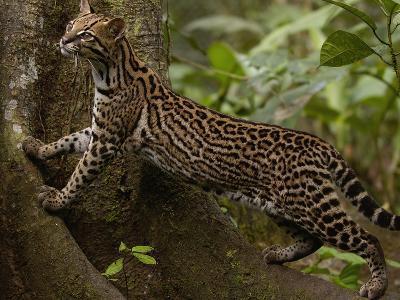 Ocelot (Felis Pardalis) Climbing on Buttress Root, Amazon Rainforest, Ecuador-Pete Oxford-Photographic Print