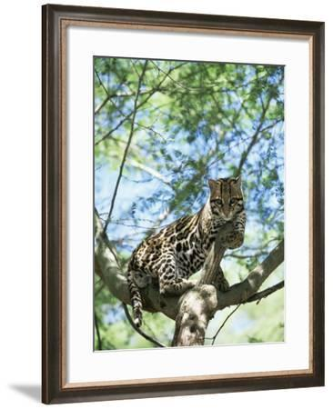 Ocelot in Tree-Pete Oxford-Framed Photographic Print