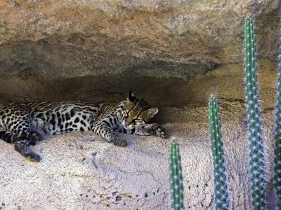 Ocelot Resting in the Shade of a Cave. Arizona, USA-Philippe Clement-Photographic Print