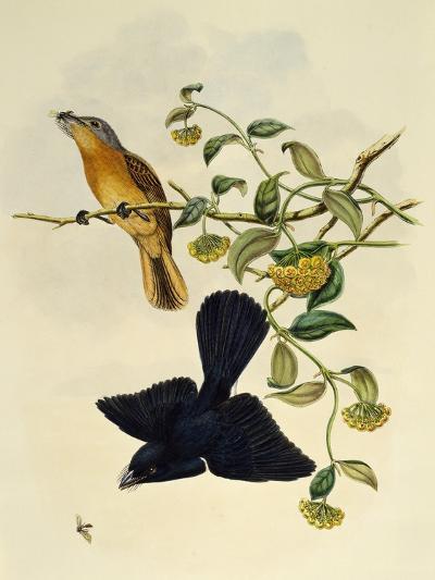 Ochre-Headed Flycatcher (Myiagra Cervinicauda)--Giclee Print