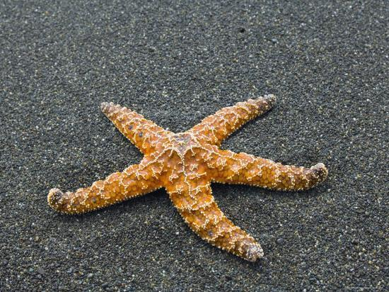 Ochre Seastar, Exposed on Beach at Low Tide, Olympic National Park, Washington, USA-Georgette Douwma-Photographic Print