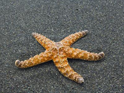 https://imgc.artprintimages.com/img/print/ochre-seastar-exposed-on-beach-at-low-tide-olympic-national-park-washington-usa_u-l-q10o0q90.jpg?p=0