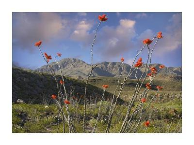 Ocotillo Big Bend Ranch State Park, Chihuahuan Desert, Texas-Tim Fitzharris-Art Print