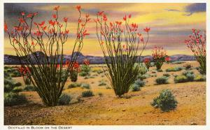Ocotillo Blooming in Desert
