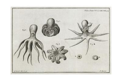 Octopus Anatomy, 18th Century-Middle Temple Library-Giclee Print