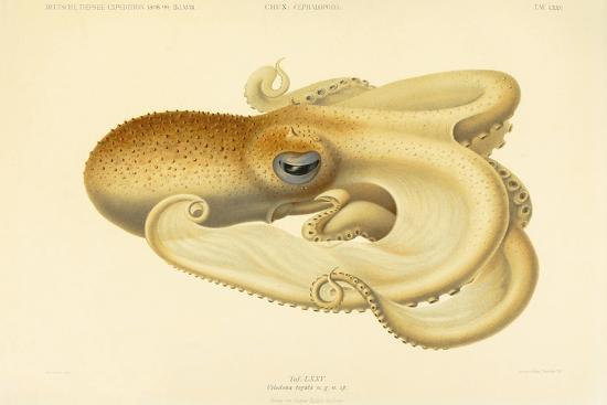 Octopus - Die Cephalopod - 1915 - Plate 75--Giclee Print