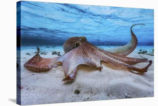 Octopus-Barathieu Gabriel-Stretched Canvas Print