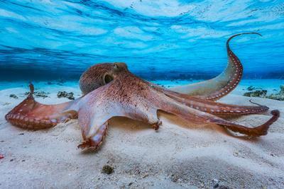 https://imgc.artprintimages.com/img/print/octopus_u-l-q19bc8d0.jpg?p=0