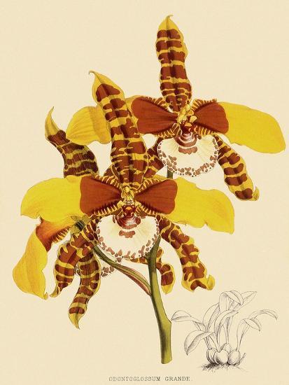 Odontoglossum Grande-John Nugent Fitch-Giclee Print