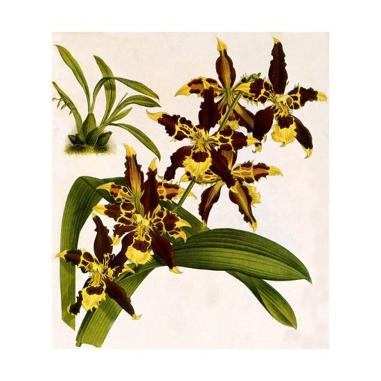 Odontoglossum Luteopurpureum Var Magnificum-John Nugent Fitch-Giclee Print