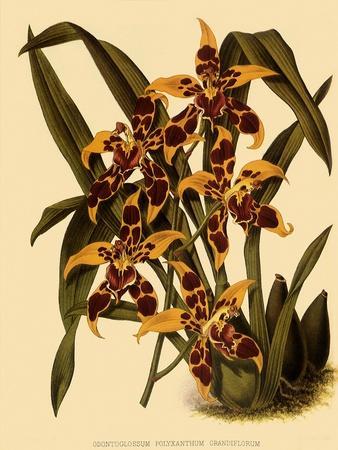 https://imgc.artprintimages.com/img/print/odontoglossum-polyxanthum-var-grandiflorum_u-l-q1bvov60.jpg?p=0