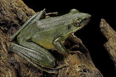 Odorrana Hosii (Poisonous Rock Frog)-Paul Starosta-Photographic Print