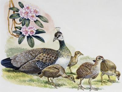 Oeahen and Chicks of Indian Peafowl or Blue Peafowl ((Pavo Cristatus), Phasianidae--Giclee Print