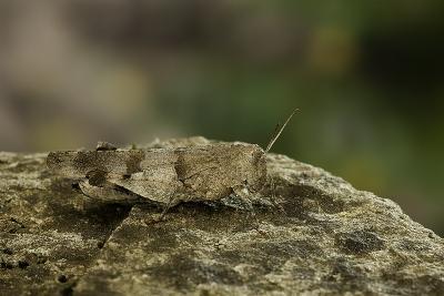 Oedipoda Caerulescens (Blue-Winged Grasshopper)-Paul Starosta-Photographic Print