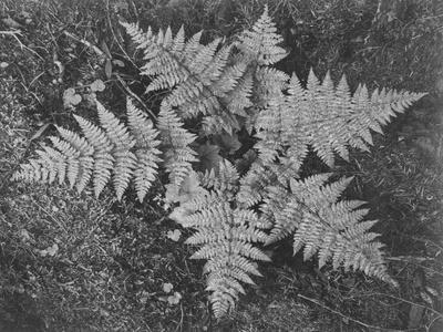 https://imgc.artprintimages.com/img/print/of-ferns-from-directly-above-in-glacier-national-park-montana-1933-1942_u-l-q19qq1v0.jpg?p=0
