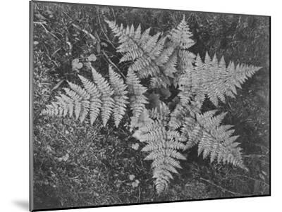 "Of Ferns From Directly Above ""In Glacier National Park"" Montana. 1933-1942-Ansel Adams-Mounted Art Print"