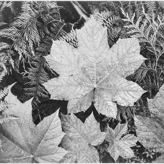 "Of Leaves From Directly Above ""In Glacier National Park"" Montana. 1933-1942-Ansel Adams-Premium Giclee Print"