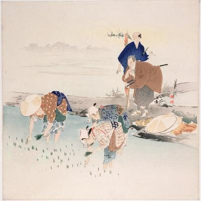 Rice Planting, C.1890s-1900s