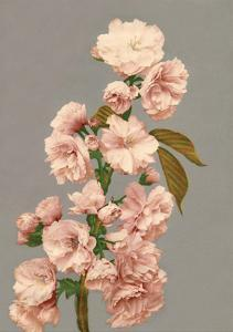 Cherry Blossom, Vintage Japanese Photography by Ogawa Kasamase