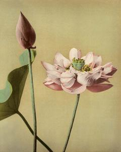 Lotus Flower, Vintage Japanese Photography by Ogawa Kasamase