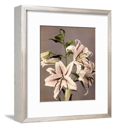 Star Gazer Lilies, Vintage Japanese Photography