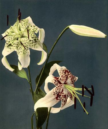 Star Gazer Lilies, Vintage Japanese Photography
